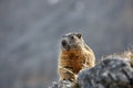 Marmot on a lookout rock in scenic mountain landscape for predators wildlife protected natural park area concept Royalty Free Stock Photos