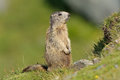 Marmot marmota marmots typically live in burrows and hibernate there through the winter most marmots are highly social and use Stock Images