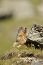 Marmot marmota marmots typically live in burrows and hibernate there through the winter most marmots are highly social and use Stock Photo