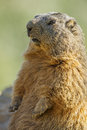 Marmot on a medow resting stone Stock Photo