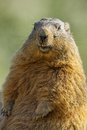 Marmot on a medow resting stone Royalty Free Stock Photography