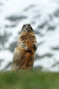 Marmot In The Mountain. Cute S...