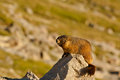 Marmot On Rock Royalty Free Stock Photography