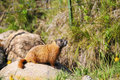 Marmot rock Royalty Free Stock Photo