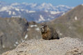 Marmot on rock in high mountains a yellow bellied a rugged mountain landscape Stock Image