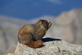 Marmot on a rock yelow bellied above timberline sitting Royalty Free Stock Photography
