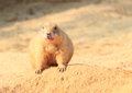 Marmot sandy on a sand hill Royalty Free Stock Photography