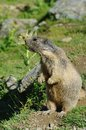 Marmot screaming - Saas Fee, landmark attraction in Switzerland