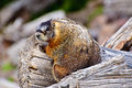 Marmot sitting on Wooden log Stock Photos