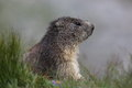 Marmot thoughts a with its Royalty Free Stock Photography