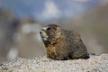 Marmot a yellow bellied on a rock in a rugged high mountain landscape Royalty Free Stock Photos