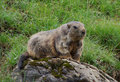 Marmota Fotos de Stock Royalty Free