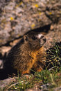 Marmota Yellow-bellied Foto de Stock