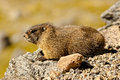 Marmotte Yellow-Bellied Photo libre de droits