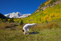 Maroon bells in autumn yoga a woman practicing the scenic colorado mountains fall Stock Images
