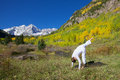 Maroon bells yoga a woman practicing in the scenic colorado mountains in fall Royalty Free Stock Photo