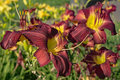 Maroon Daylily Hybrids Royalty Free Stock Photo