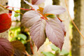 Maroon leaves wall in the background Royalty Free Stock Image