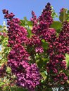 Maroon lilac flowers with blue sky and green leaves in background Royalty Free Stock Photo
