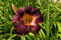 Maroon lily Royalty Free Stock Photo