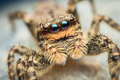 Marpissa muscosa female jumping spider Royalty Free Stock Images