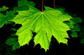 Marple leaf Royalty Free Stock Images