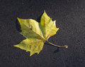 Marple leaf Royalty Free Stock Photography