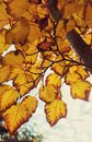 Marple tree with autumn leaves Stock Images