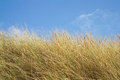 Marram grass Stock Image