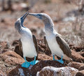 Marriage dances of blue footed boobyis couple boobies performing mating dance the a bird in the sulidae family which comprises ten Stock Photography
