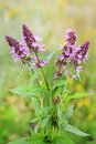 Marsh betony (Stachys palustris) Royalty Free Stock Photo