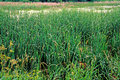 Marsh with cattails wetland typha upstate rural new york Royalty Free Stock Images