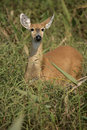 Marsh deer blastocerus dichotomus single mammal in long grass brazil Stock Photography
