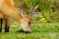 Marsh Deer eating Stock Images