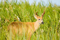 Marsh deer, Ibera, Argentina. Royalty Free Stock Photography