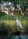 Marsh Egret Stock Photos