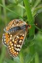 Marsh fritillary butterfly eurodryas aurinia wings open Royalty Free Stock Image