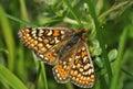 Marsh fritillary butterfly eurodryas aurinia wings open Stock Photo