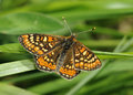 Marsh fritillary butterfly eurodryas aurinia wings open Stock Images