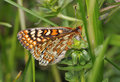 Marsh fritillary butterfly eurodryas aurinia wings partly open Stock Images