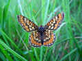 Marsh fritillary butterfly in grass Stock Photo