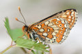 Marsh fritillary euphydryas aurinia endangered butterfly in the family nymphalidae at rest showing beautifully patterned underside Royalty Free Stock Images