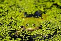 Marsh Frog Royalty Free Stock Images