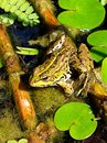 A marsh frog in habitat Stock Photo