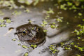 Marsh frog head sitting in pond surrounded by duckweed Royalty Free Stock Photos