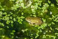 Marsh frog on the lake sits a green leaf among white lilies Stock Images