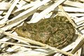 Marsh frog (Rana Ridibunda) Stock Images