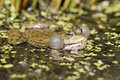 Marsh frog rana ridibunda single in water calling captive april Stock Photos