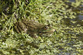 Marsh frog rana ridibunda single in water captive april Stock Photo