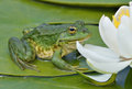 Marsh frog sits on a green leaf Royalty Free Stock Images